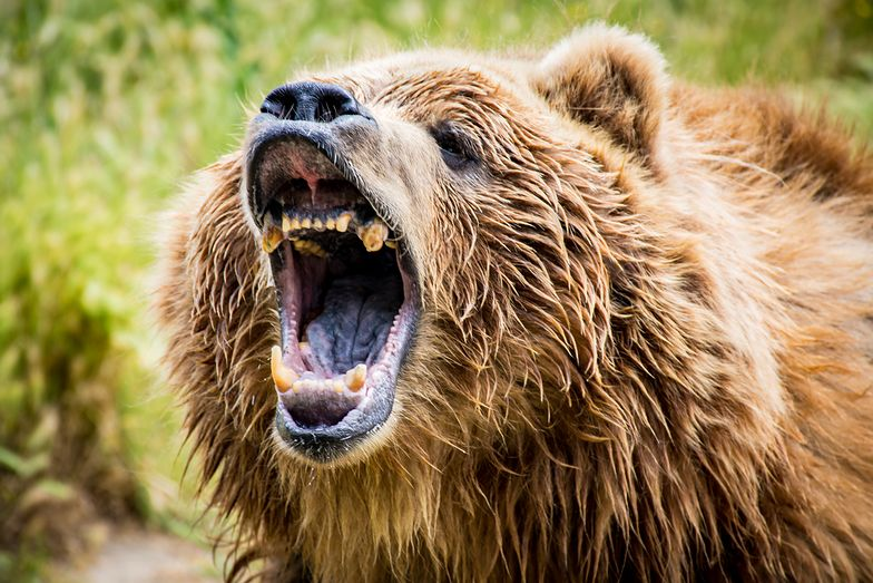 Rosja. Niewiarygodne, jak 83-latka poradziła sobie z niedźwiedziem