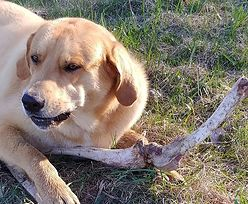 Niedźwiedź przekupuje psa kośćmi. Widać każdy ma swoją cenę