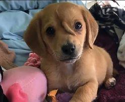 Pies jednorożec znalazł dom. Urodził się z ogonem na czole