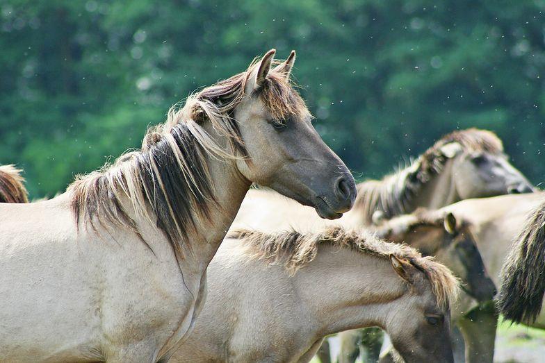 Rząd zabije dzikie konie? 45 tysięcy okazów zagrożonych