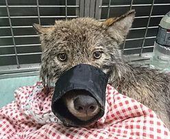 Ratowali tonącego psa z Parnawy. Okazał się wilkiem