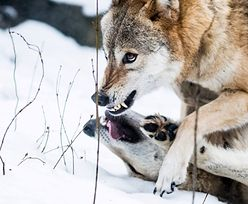 """Wilki zagryzły 17 danieli na Pomorzu. """"Wataha 15 osobników"""""""