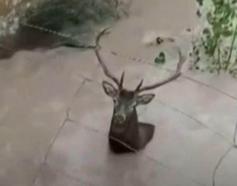 hiszpania jeleń