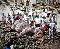 Nowe, szokujące zdjęcie wychudzonej słonicy. Jest bliska śmierci