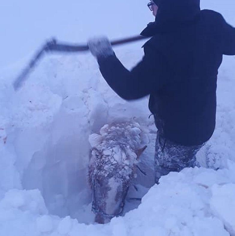 Islandia. Konie całe utonęły w śniegu. Pogoda sparaliżowała wyspę