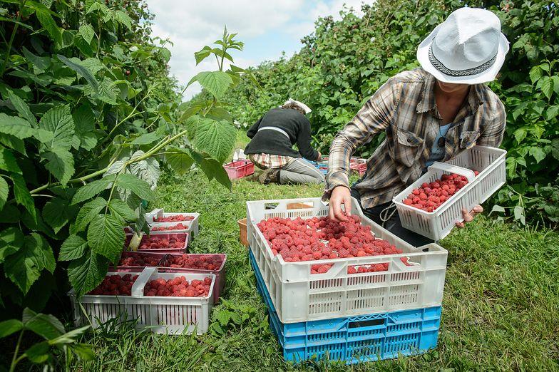 Ukraińcy to już stały element polskiego rynku pracy. Z zasiłków raczej nie korzystają
