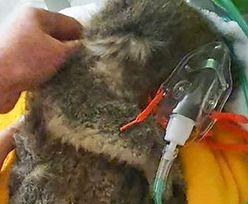 Australia. Myśleli, że uratowali koalę. Nieświadomie zabili zwierzę