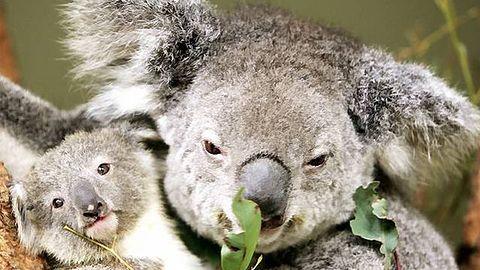 W australijskiej wersji South Parku zamiast sondy analnej będzie miś koala
