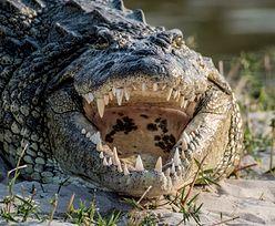 Atak krokodyla. Dziecko uratowała koleżanka