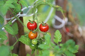 Warzywa z własnego ogródka