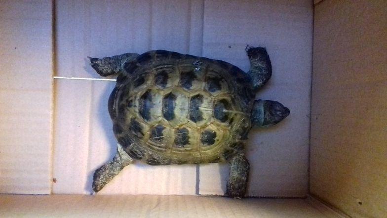 Żółw zwiał z ogrodu. Przez pół roku nie zdążył daleko uciec