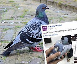 Zatrzymano gołębia. Ptak przemycał narkotyki do innego kraju