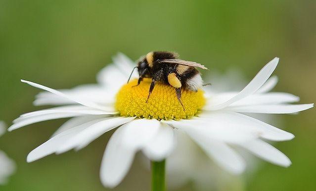 Użądlenie przez pszczołę