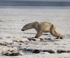 Szokujący skutek zmian klimatycznych. Niedźwiedź polarny na Kamczatce