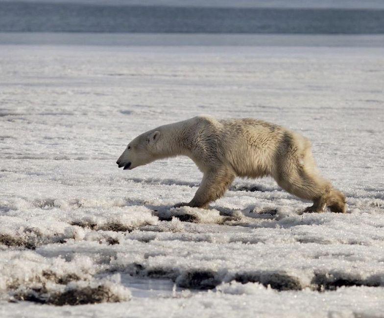 niedźwiedź polarny rosja zmiany klimatyczne