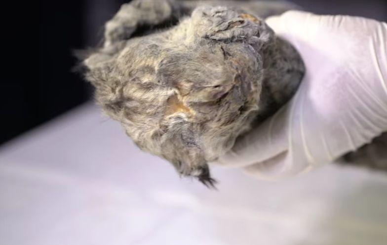 Na Syberii znaleźli lwiątko, które mogło zamarznąć nawet 50 tys. lat temu. Jest w stanie idealnym