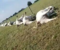 Teksas. Piorun zabił całe stado krów