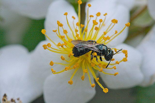 Owady - pszczoła