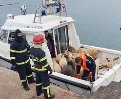 Rumunia. Owce wciąż żyją. Zdumienie 4 dni po katastrofie