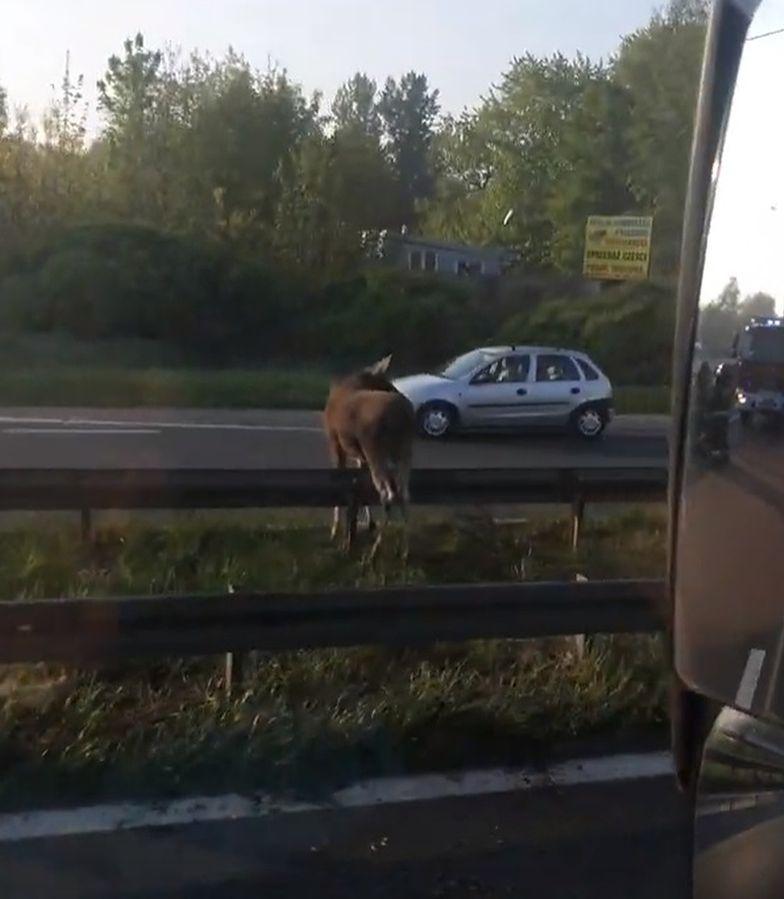 Łoś zatarasował drogę w Sosnowcu. Ranne zwierzę na DK94