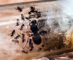 Na Śląsku przejęli ukraińskie mrówki. Trzeba je natychmiast wywieźć z kraju