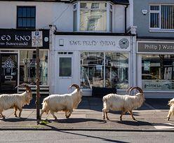 Pandemia koronawirusa. Kozy opanowały opustoszałe miasto w Walii