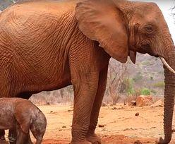 Słoń wychowany przez ludzi wrócił po latach. Nie bez powodu