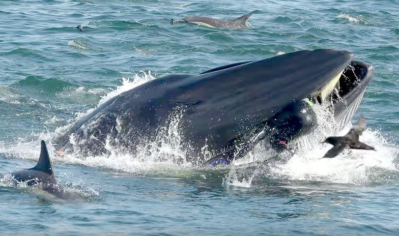 Człowiek zmieciony przez wieloryba. Trafił wprost do jego paszczy