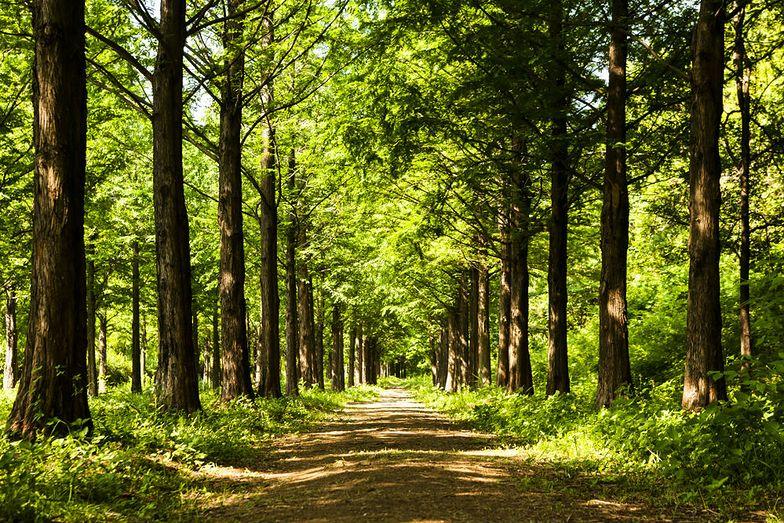 Lasy państwowe. Zakaz wstępu do lasów stał się faktem