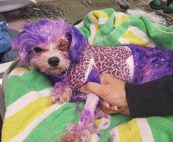 Pomalował psa farbą do włosów. Zwierzak prawie zginął