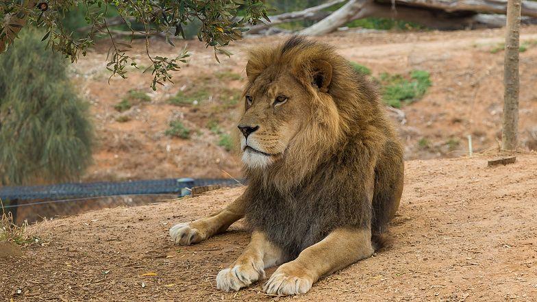Tragedia w zoo. Szczątki nastolatka znalezione w lwiej zagrodzie