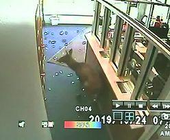 Sprzedawca był w szoku. Jeleń zdemolował sklep ze smartfonami [WIDEO]