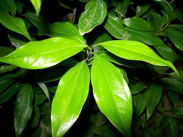 Liść drzewa cynamonowego
