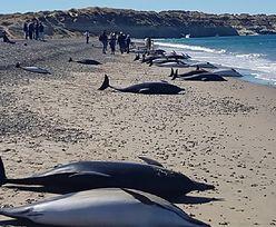 Delfiny martwe na plaży. Śmierć 163 zwierząt to zagadka