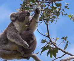 Australia. Koale powoli wracają do buszu
