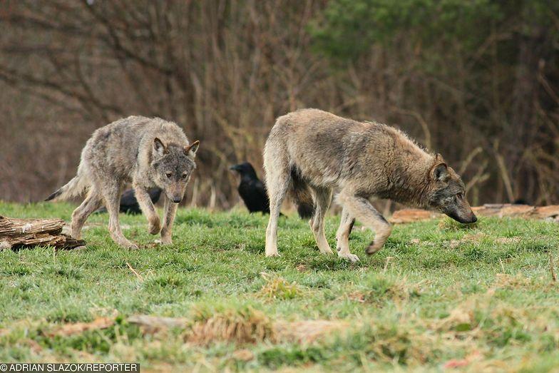 Burmistrz Sokołowa Małopolskiego chce odstrzału wilków