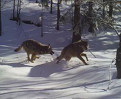 Piękna scena w polskim lesie. Zachowanie wilków zachwyciło internautów