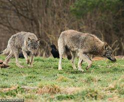 """Miasteczko chce odstrzału wilków. """"Psychoza rośnie. Dzieci mają zakaz wchodzenia do lasu"""""""
