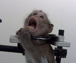 Małpy krzyczące z bólu. Szokujące nagrania z laboratorium w Niemczech obiegły świat