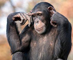Zaskakujący eksperyment. Chińscy naukowcy wszczepili małpie geny człowieka