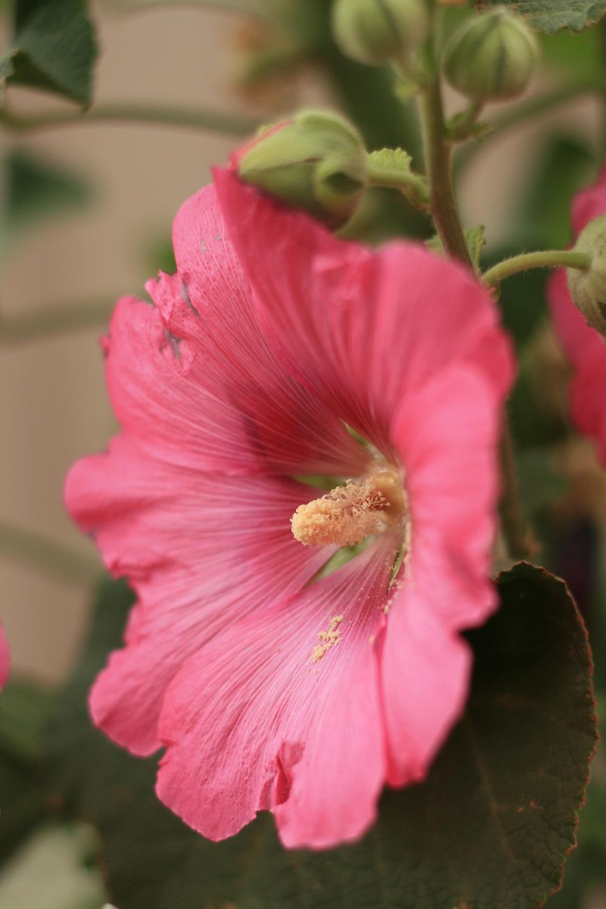 Kwiat malwy