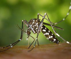 Komar tygrysi w Europie. Uważaj na ukąszenia – przenosi śmiertelne choroby