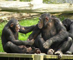 Tajemnicze małpie rytuały. Niektórzy myślą, że to religia