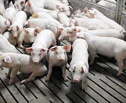 Rolniczka ujawniła aferę z tuczeniem świń. Teraz sama jest oskarżona