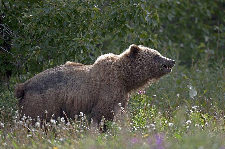 Niedźwiedź zabił cenionego muzyka. Artysta nagrywał dźwięki natury