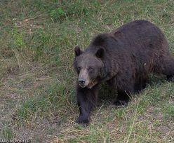 Atak niedźwiedzia w Armenii. Nie żyje Polak. MSZ potwierdza