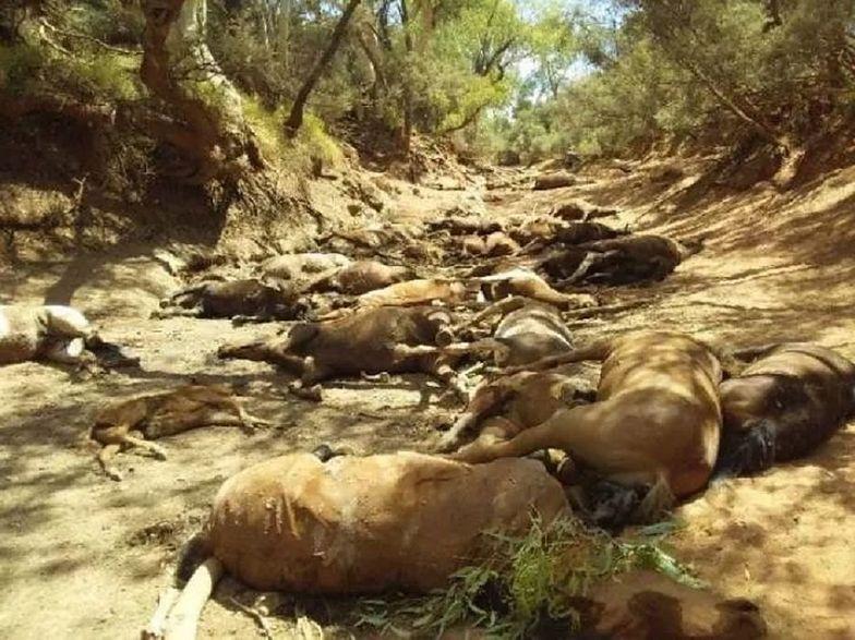 Tragedia koni w Australii. Upały zabiły 90 zwierząt