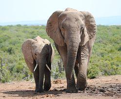 2 słonie zadeptały ekologa na śmierć. Teraz może zginąć całe stado