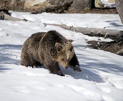 Tatrzański Park Narodowy. Niedźwiedzie budzą się ze snu