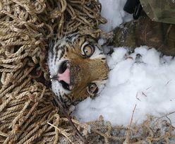 Syberyjska tygrysica poszła na łatwiznę. Młode karmiła psami trzymanymi na łańcuchach